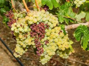 почему виноград сохнет