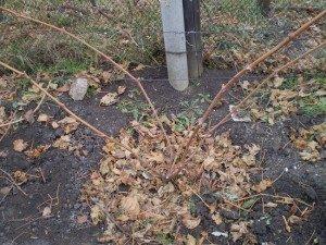 окучивание винограда