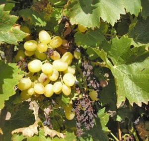 сохнут гроздья винограда