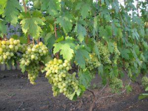 виноград валек