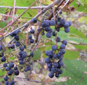 вид амурского винограда