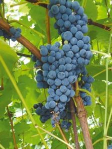 особенности винограда амурский