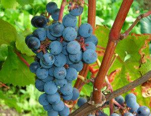 амурский прорыв виноград
