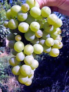 сорт винограда ананасный ранний