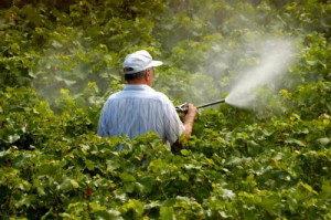 обработка против антракноза винограда