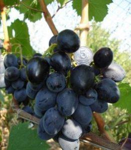 чёрный принц виноград