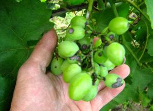 недуг на винограде милдью