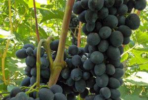 чёрная вишня виноград