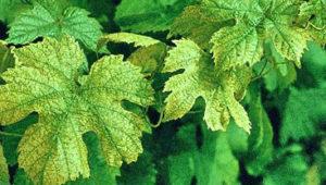 хлороз у винограда