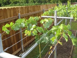 виды шпалер для лозы винограда