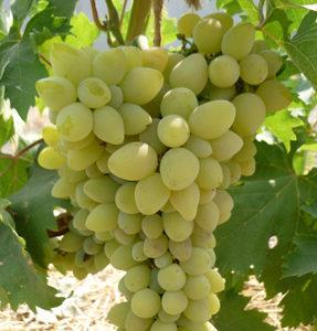 сорт винограда галахад