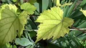 хлороз виноградника
