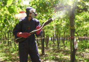 обработка винограда против милдью