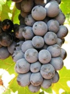 сорт винограда пинотаж
