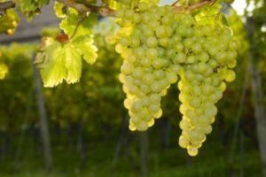 особенность белого винограда
