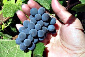 почему виноград не плодоносит