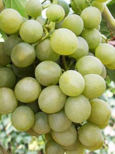белое чудо сорт винограда