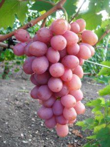 сорт винограда гурман