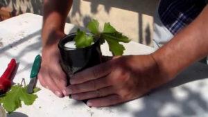 размножение винограда зелеными черенками1
