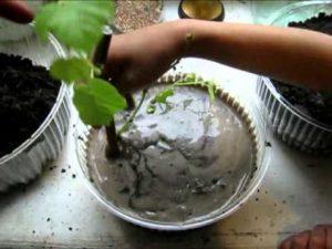 проращивание черенков в контейнерах
