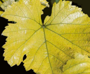 хлороз винограда эдафический