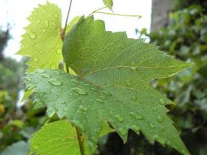 особенности листьев винограда