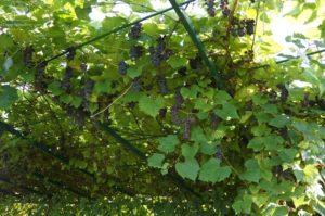 виноград для беседки