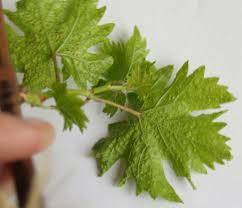 сбор листьев винограда