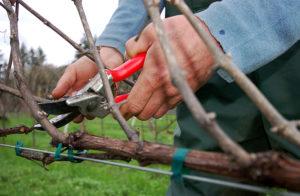 веерная обрезка винограда осенью