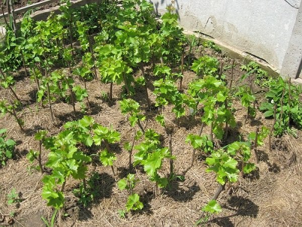 Виноград выращивание и уход в августе 80