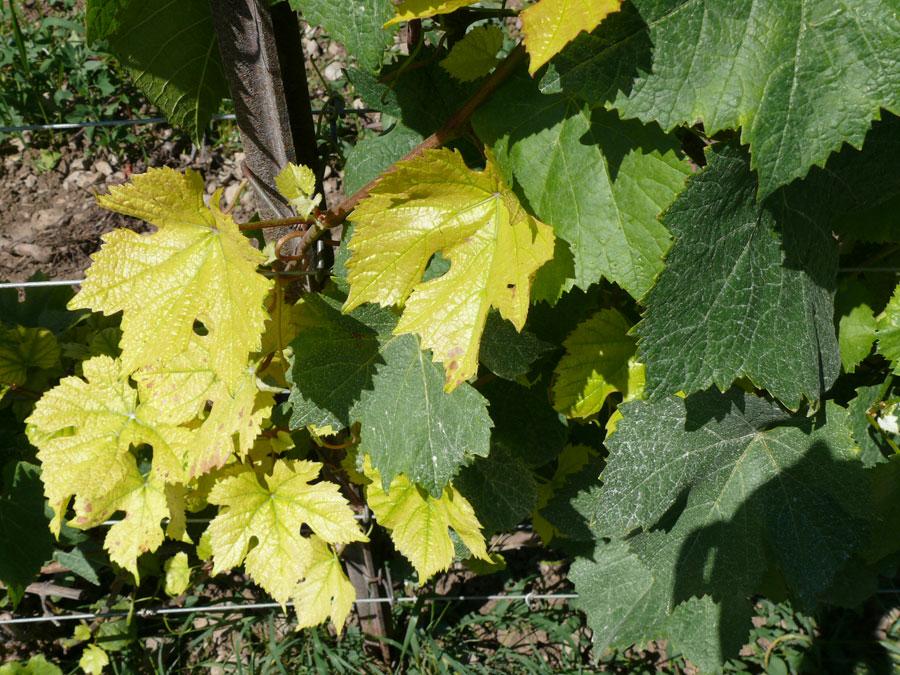 Желтеют листья у винограда почему