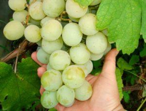 сорт винограда кеша