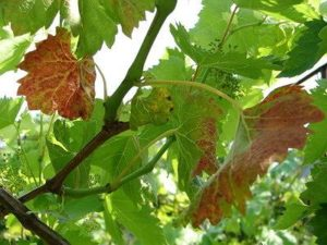 краснуха виноградных листьев