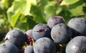 в чем причина осыпания ягод винограда