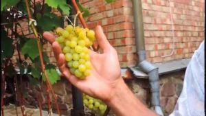 лиепаяс дзинтарс виноград