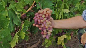 характеристика винограда преображение