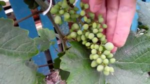 обработка винограда в июле