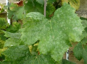 мучнистая роса винограда
