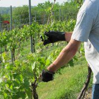 обрезка винограда от ненужных побегов