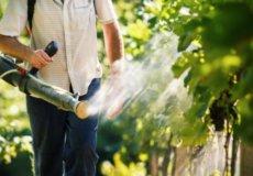 хлороз винограда лечение