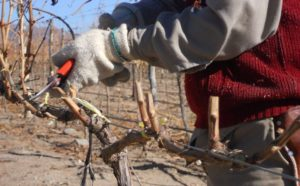 обрезаем виноград осенью