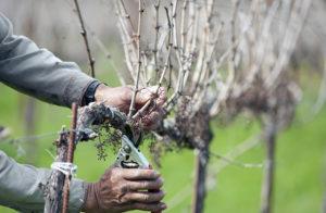 штамбовая обрезка винограда