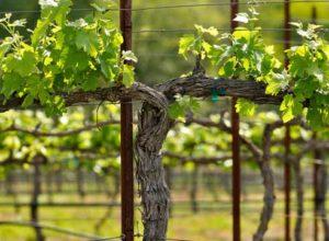 веерная форма винограда