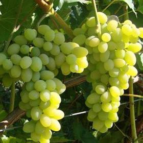 сорт винограда плевен