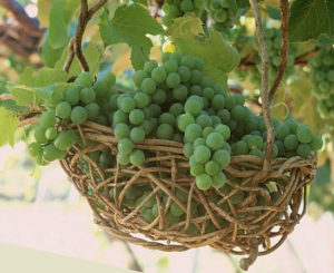 виноград для организма