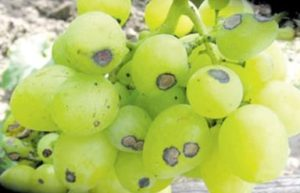 антракноз винограда на ягодах