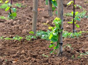 особенности весенней посадки винограда