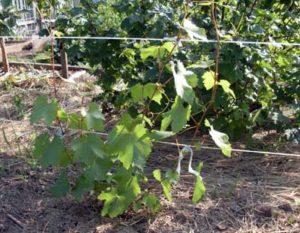 виноград амурский и его посадка