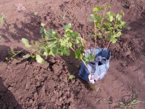 сажаем виноград черенками весной