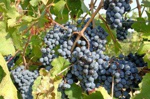 чёрная шишка виноград